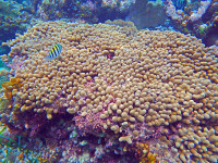 Belize-Barrier-Reef-Corals