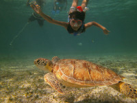 Snorkeling Sea turtle