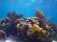 Corals-in-Belize