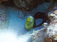 Snorkeling Green Moray