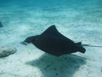 Snorkeling Eagle Ray
