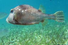 Snorkeling Trunk Fish